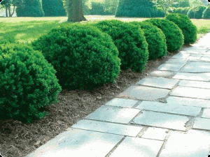 Boxwood shrubs can stink up your sale