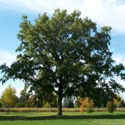 tree in austin